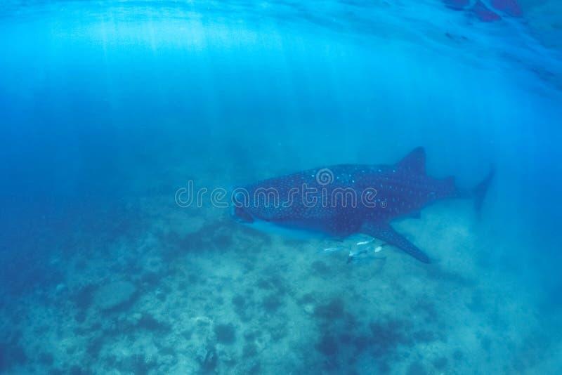 Valhaj och härlig undervattens- plats med marin- liv i solljus i det blåa havet Snorkla och dykapparat undervattens- Maldiverna royaltyfri fotografi