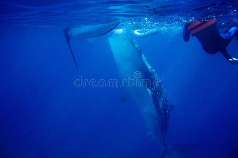Valhaj och undervattens- foto för fartyg Closeup för valhaj vid yttersida för havsvatten arkivbild