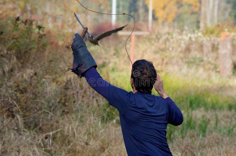 Valkenier die een perigrinevalk met een lokmiddel opleiden stock afbeeldingen