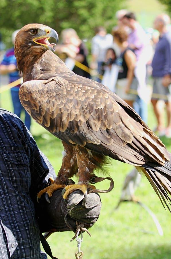 Valkeniertrainer met Eagle met een bek en heldere ogen stock foto's