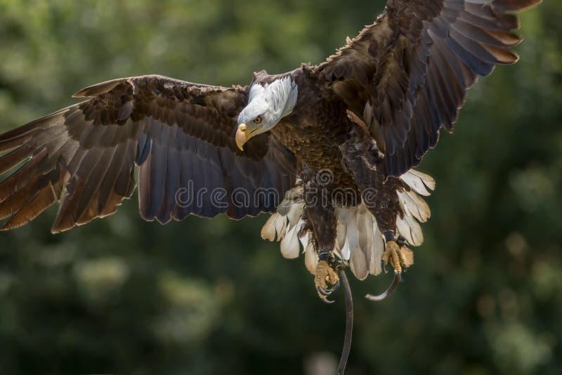 valkerij Amerikaanse kale adelaarsroofvogel die bij vertoning landen royalty-vrije stock foto's