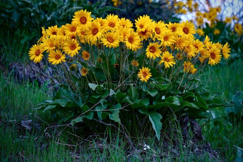 Valkruid of Balsamroot-bloemen in volledige bloei dichtbij Leavenworth stock afbeelding
