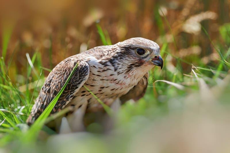 Valkvoer op het vlees van de gevangen vogel royalty-vrije stock afbeeldingen