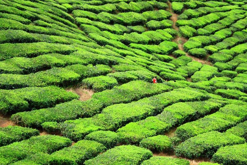 Vallée de ferme de thé en montagnes de Cameron photographie stock libre de droits