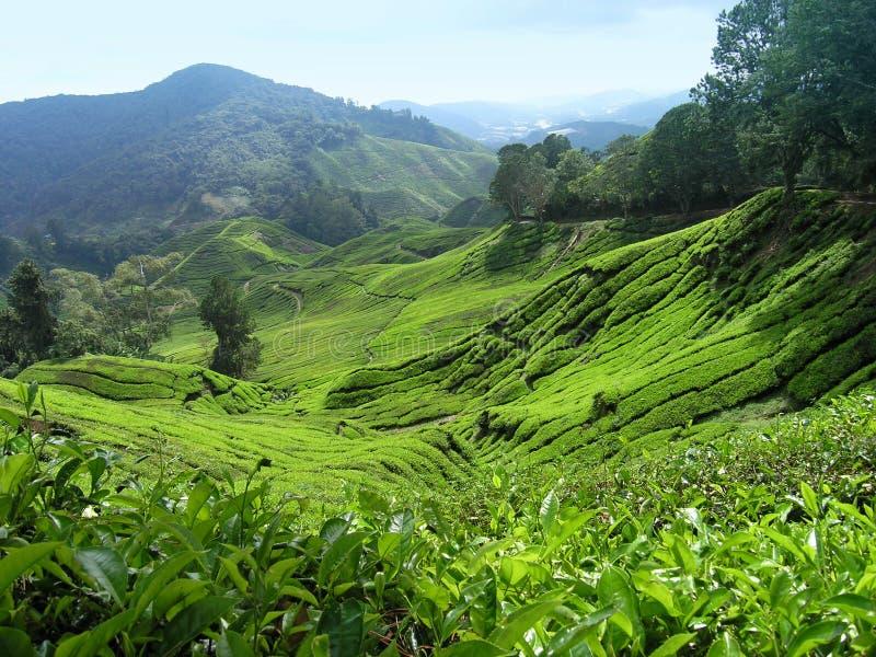 Vallée de thé images libres de droits