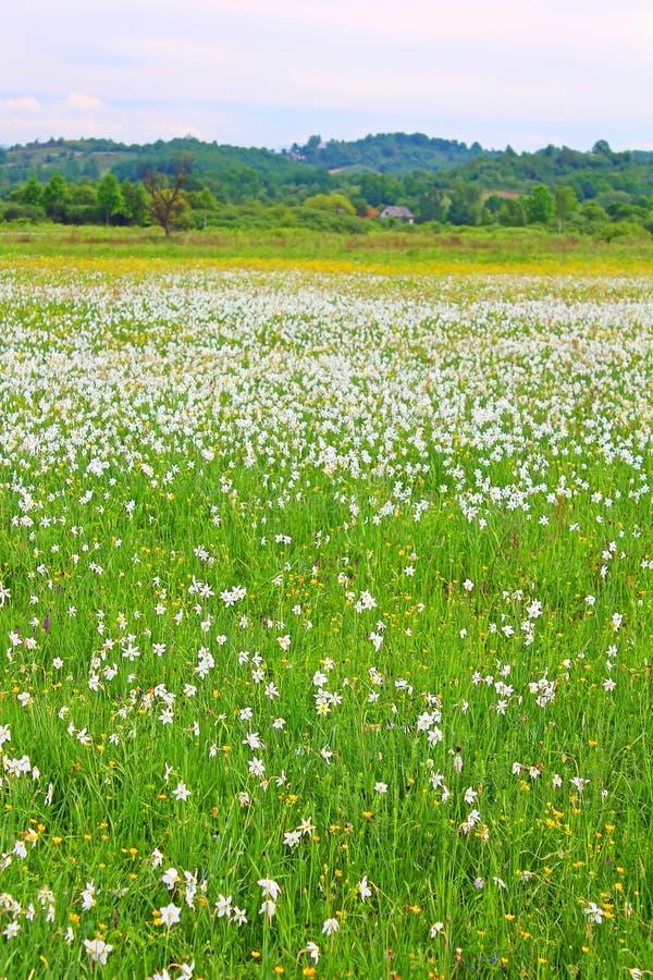 Vallée des narcisses dans Khust, Ukraine photos stock