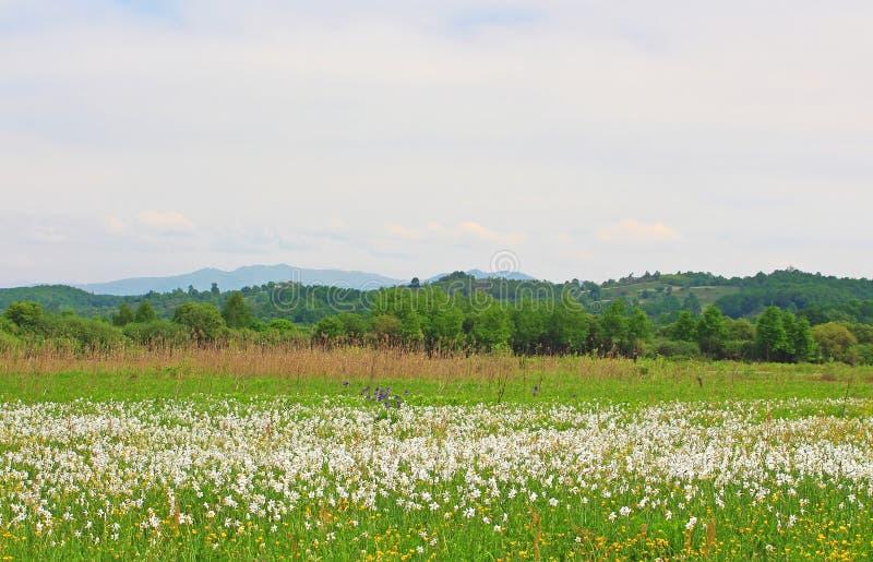 Vallée des narcisses dans Khust, Ukraine image libre de droits