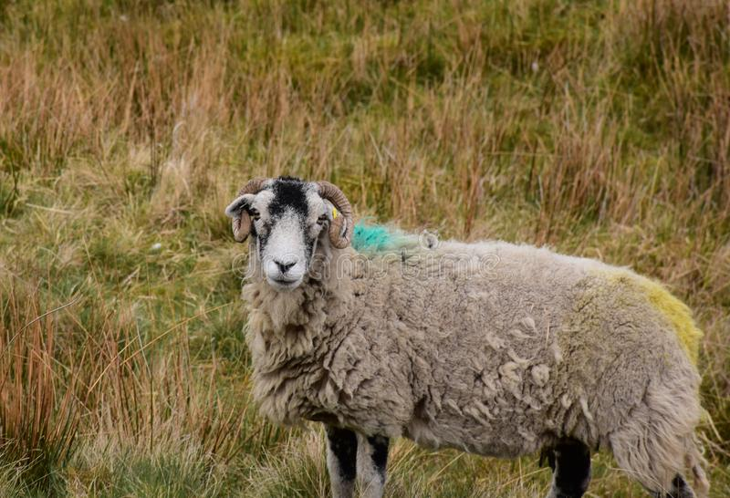 Vallées de Yorkshire avec un mouton de Swaledale dans un grand domaine images libres de droits