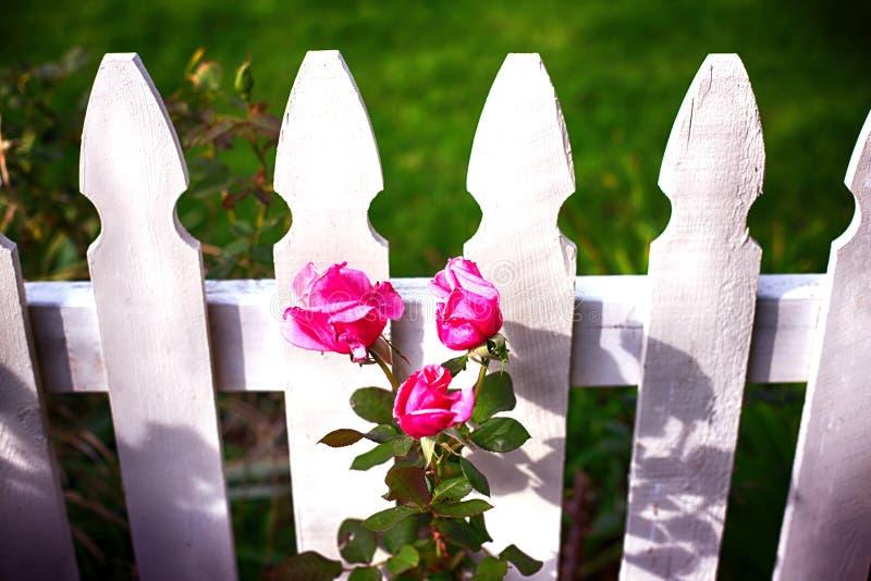 Valla de estacas blanca y rosas rosadas imagen de archivo libre de regalías