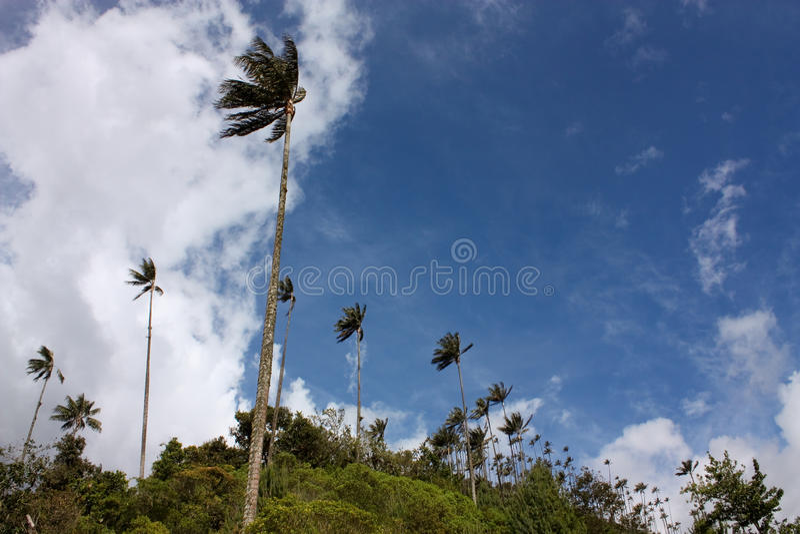 Valle de Cocora y palma de cera imagen de archivo libre de regalías