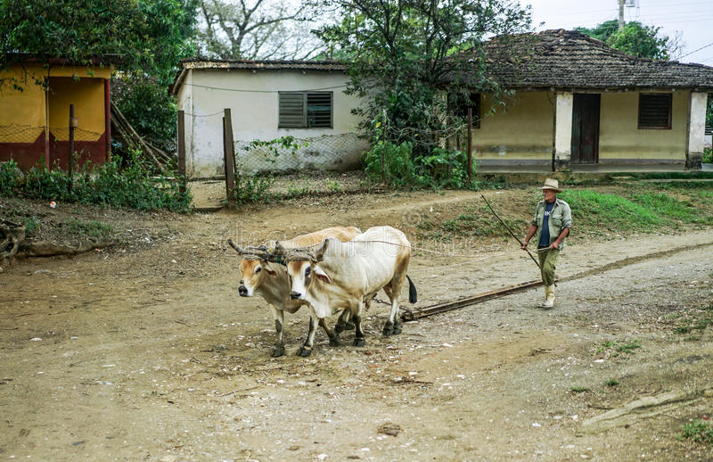 Valle de los ingenios man and ox. Valle de los Ingenios, Trinidad, Cuba - January 14, 2016: in the village next to Slave Tower Manaca Iznaga, which is preserved royalty free stock photography