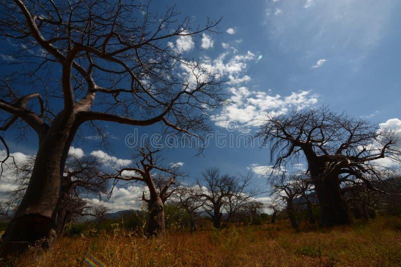 Valle del baobab, el río Great Ruaha tanzania imagen de archivo