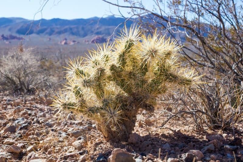 Valle del parco di stato del fuoco (Nevada State Parks) Cylindropuntia fotografie stock libere da diritti