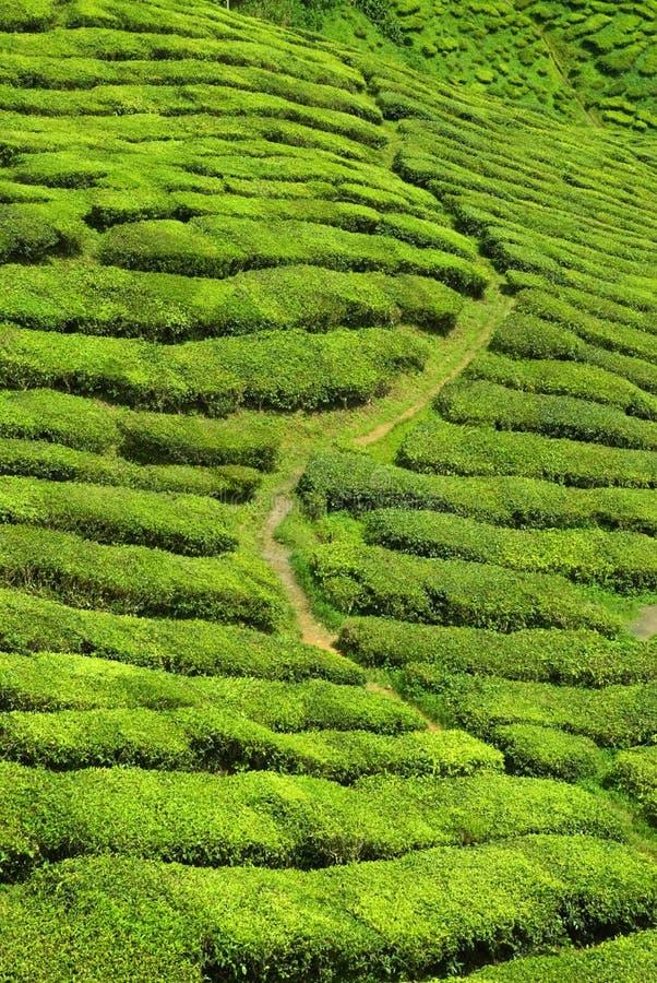 Valle del té imagen de archivo libre de regalías