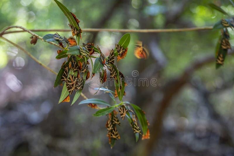 Valle delle farfalle. Una riserva naturale unica sull'isola di Rodi immagini stock