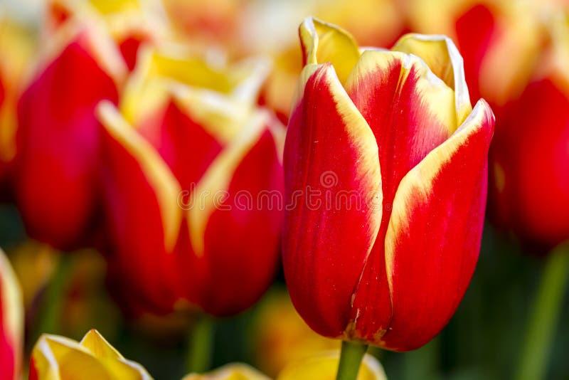 Valle Oregon Tulip Fields di Skagit immagini stock