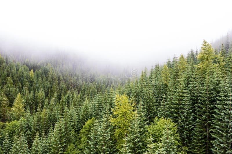 Vallei van de mistige pijnboom de bosberg met de verse de lentegroei royalty-vrije stock foto's