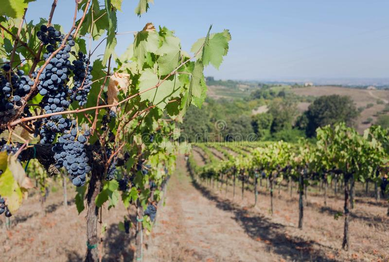 Valley with blue grapevine of wineyard. Colorful grapes and landscape of Italy at bright morning stock image