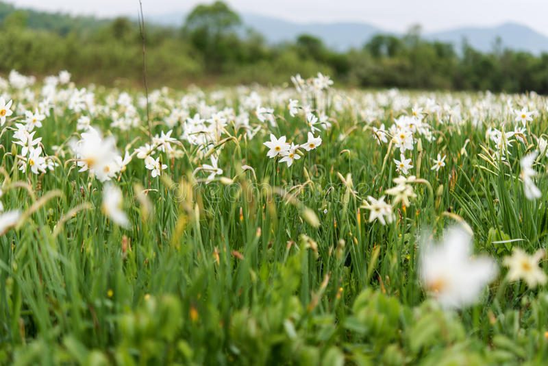 Valley of daffodils. In Transcarpathia royalty free stock photos