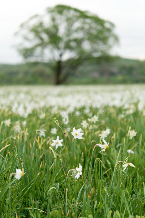Valley of daffodils. In Transcarpathia royalty free stock photo