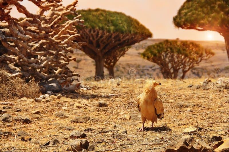 Valley dragon trees at sunset. Yemen. Socotra. stock image