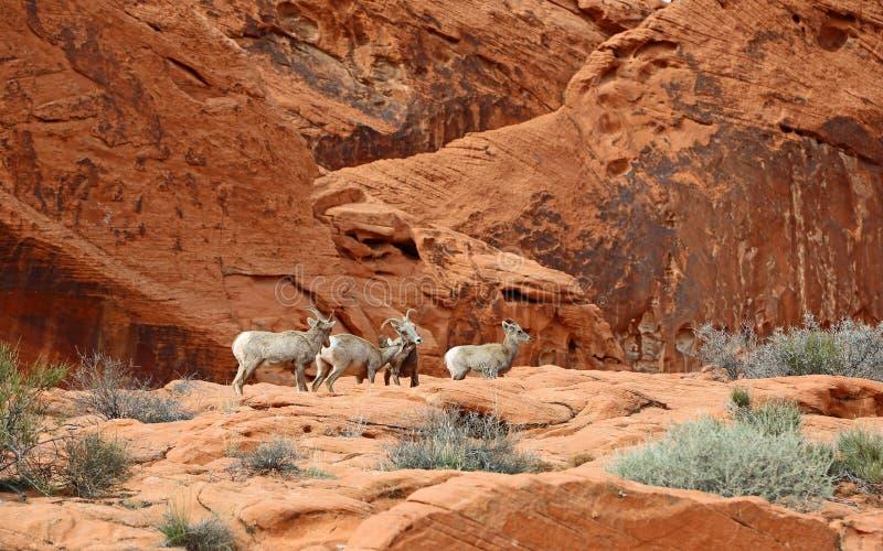 Group of Desert bighorn sheep stock photos