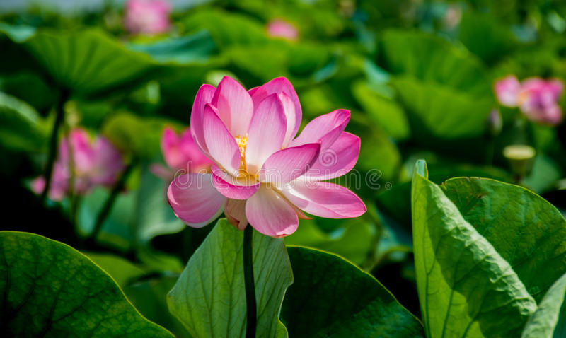 Valley of lotuses in Temryuk. stock images