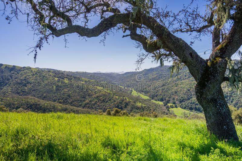 Valley oak tree in spring, view of the Hunting Hollow valley in the background, Henry W. Coe State Park, California stock photography