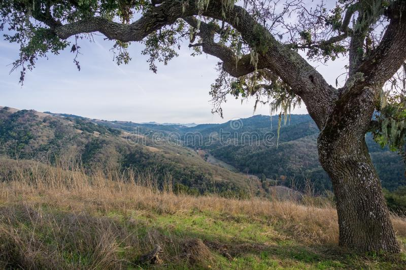 Valley oak tree on the trails of Henry W. Coe State Park, south San Francisco bay, California royalty free stock images