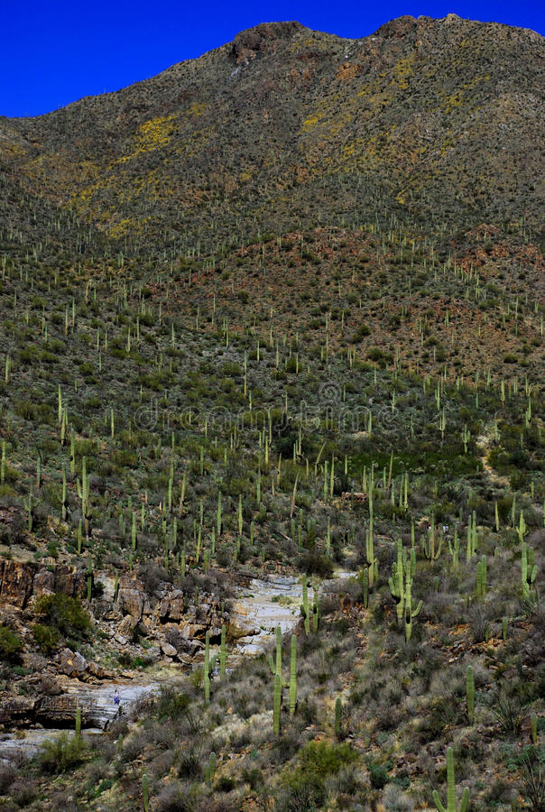 Valley of Saguaros stock photography