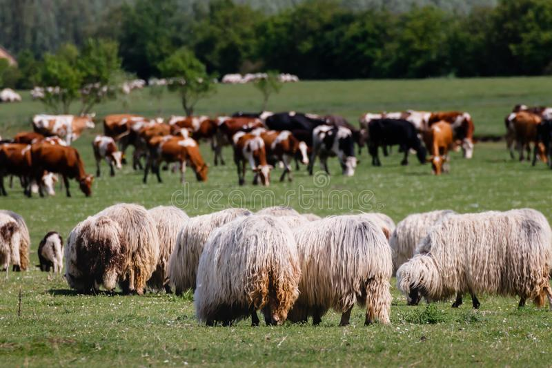 Valley with sheep and cattle in the back royalty free stock images