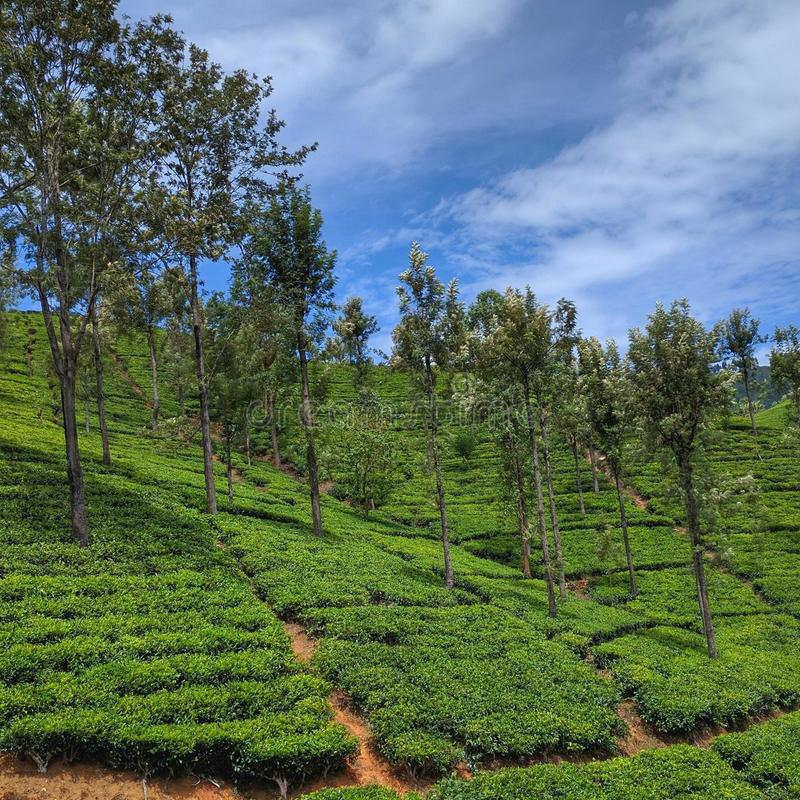 Tea Plantation and Blue Skies royalty free stock images