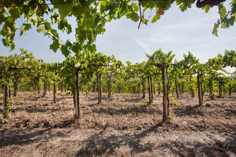 Valley with young green vine of wineyards. Colorful landscape, soil and vineyard rows under sun royalty free stock photo