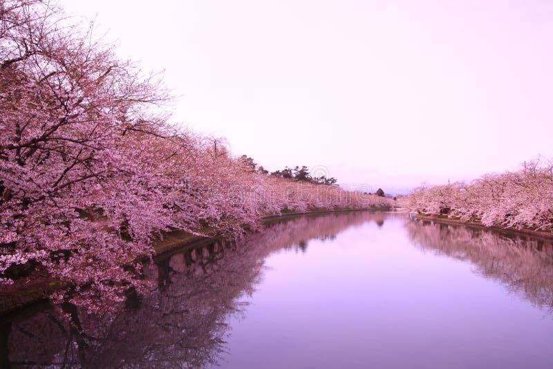 Vallgrav och körsbärsröda blomningar royaltyfri bild