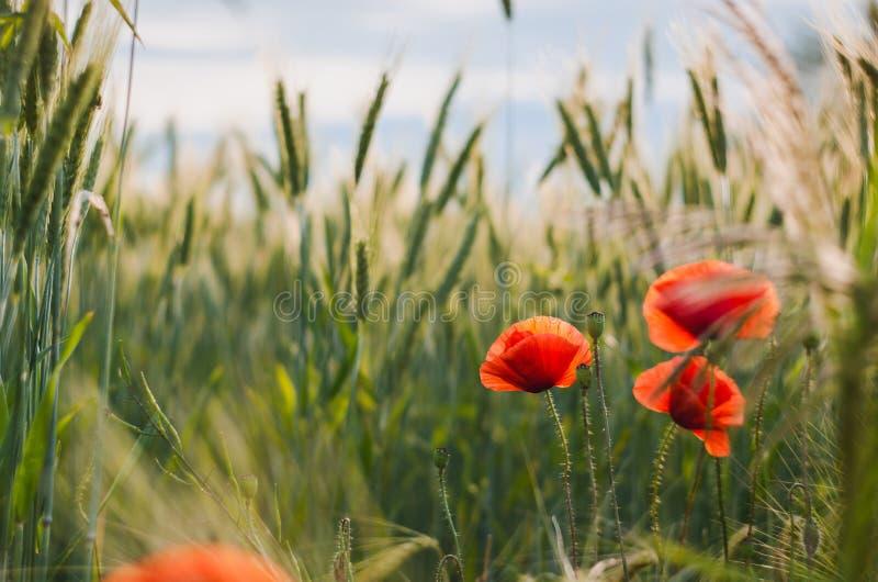 Vallmo bland vete i sommardag arkivbild