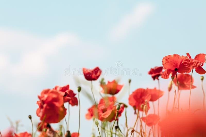 Vallmo blommar retro fridsam sommarbakgrund royaltyfria foton