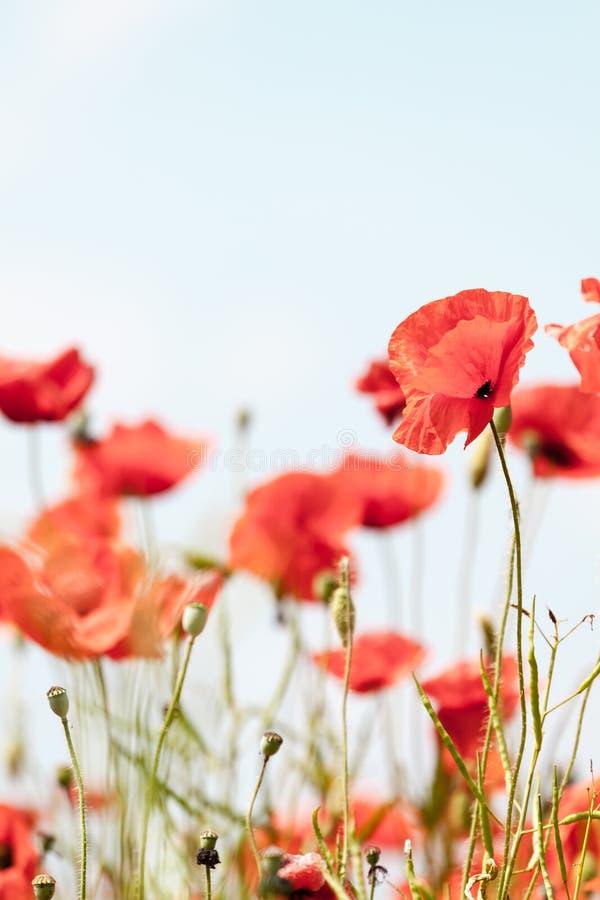 Vallmo blommar retro fridsam sommarbakgrund arkivfoton