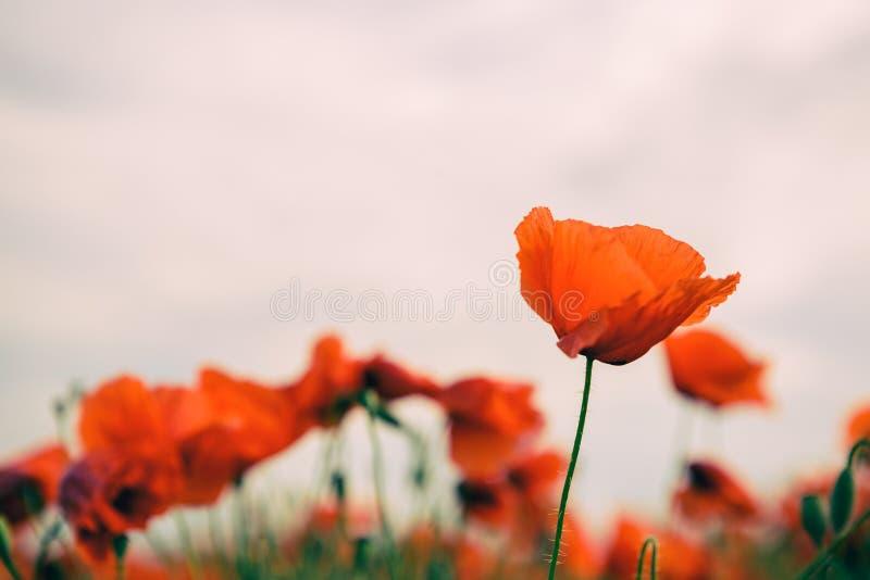 Vallmo blommar retro tappningsommarbakgrund arkivfoto