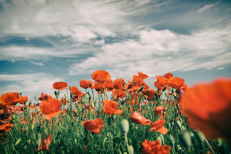 Vallmo blommar retro tappningsommarbakgrund royaltyfri fotografi