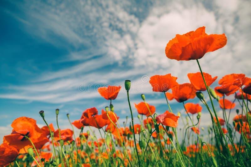 Vallmo blommar retro tappningsommarbakgrund fotografering för bildbyråer
