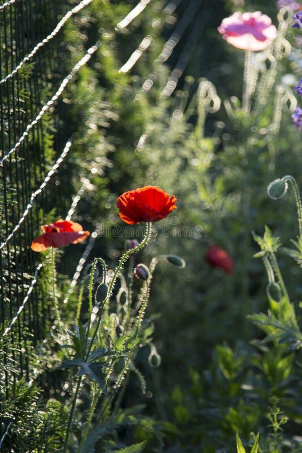 Vallmo i blomyttersida en trädgård royaltyfria bilder