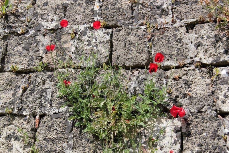 Vallmo i en stenvägg arkivbilder