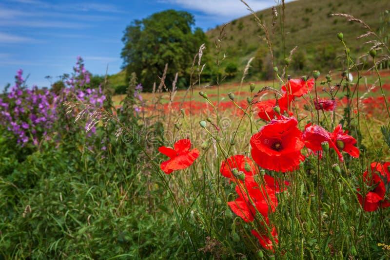 Vallmo och lösa blommor, i Juli i fält i Wiltshire arkivfoto