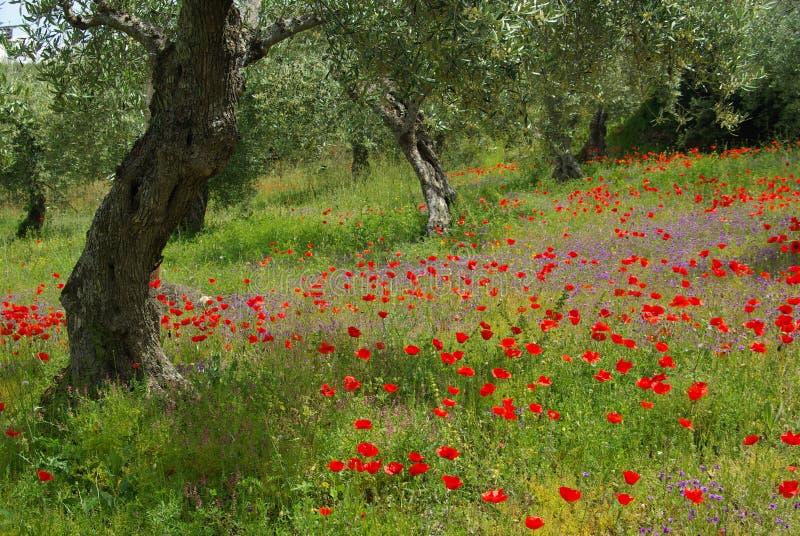 Vallmo och olive tree royaltyfria bilder