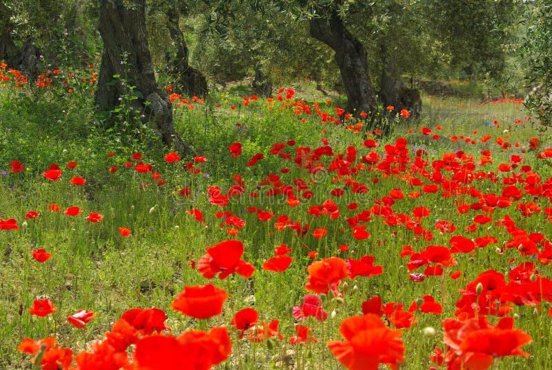 Vallmo och olive tree royaltyfri foto
