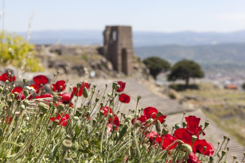 Vallmo på en bakgrund av den forntida teatern Pergamum kalkon arkivfoton