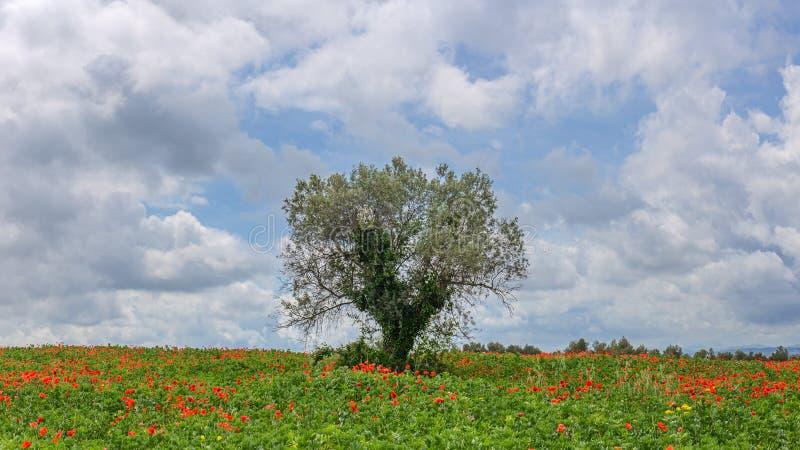 Vallmo sätter in runt om en olivträd arkivfoton