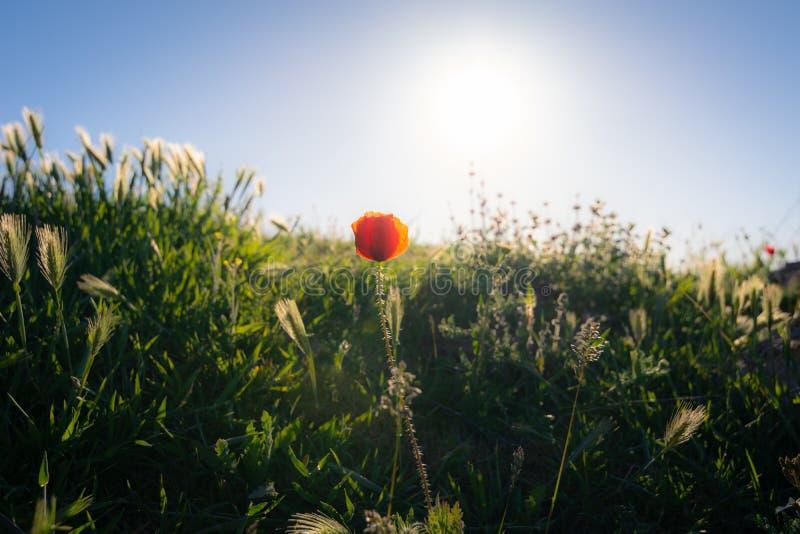 Vallmoblomma i förgrunden över ett fält av lösa örter och solen i bakgrunden Typisk naturlig och vårplats arkivbild