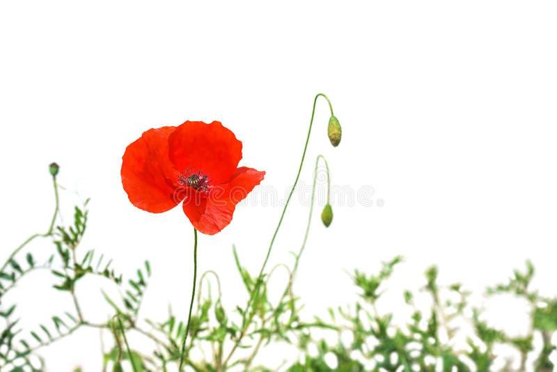 Vallmoblommor eller papavervallmo p? soligt ljus som isoleras p? vit bakgrund fotografering för bildbyråer