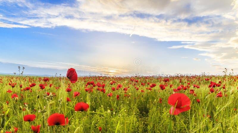Vallmofält i en av regionerna av Azerbajdzjan royaltyfria foton